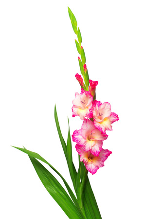 Branch of a gladiolus pink flower isolated on white background