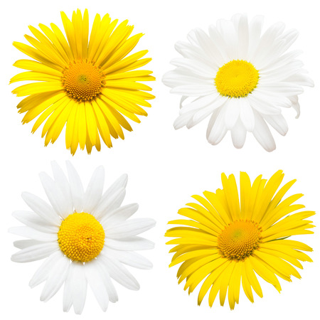Collection of beautiful daisy flowers isolated on white background. Card. Easter. Spring Set. Flat lay, top view