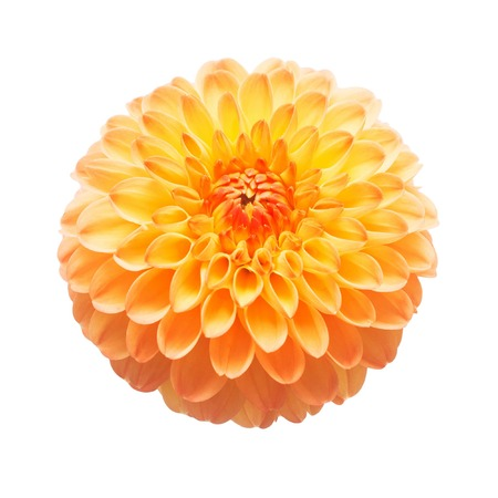 Fiore di macro natura della bella dalia arancio isolata su fondo bianco. Botanico, concetto, flora, idea. Forma di pompon Archivio Fotografico - 94668651