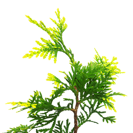 Thuja occidentalis Mirjam isolated on white background. Coniferous trees Stock Photo