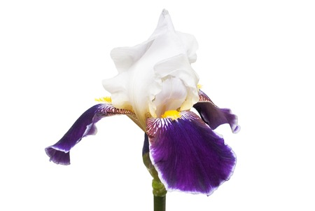 White-purple flower iris isolated on white background. Wedding card. Flat lay, top view. Love. Valentines Day Stock Photo