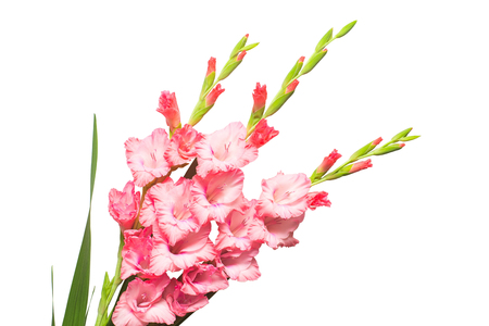 Beautiful pink fashionable gladiolus flower isolated on white background. Wedding bouquet of the bride. Flat lay, top view Stock Photo