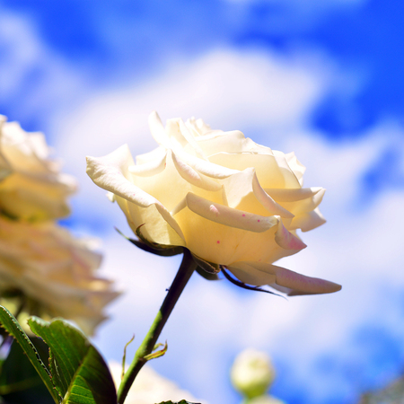 A white rose flower in a garden against a blue sky and clouds. Vintage Color. Nature Stock Photo