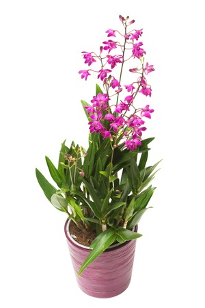 Pink orchid flower Dendrobium kingianum in a pot isolated on white background. Fashionable creative floral composition. Summer, spring. Flat lay, top view. Love. Valentines Day Stock Photo