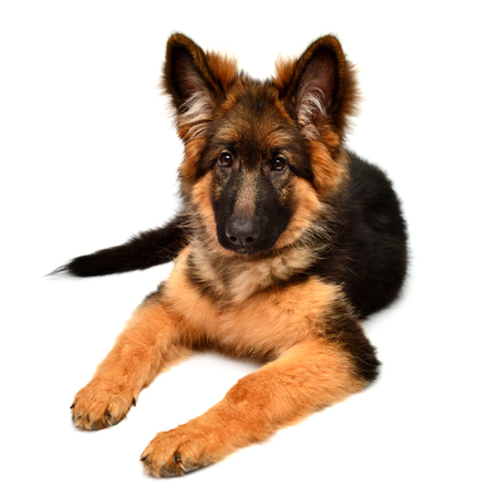 Fluffy German Shepherd dog isolated on white background. Puppy is beautiful, funny and attentive. Portrait, close-up. Sits and looks closely. Good, plush Stock Photo