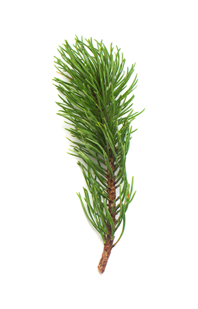 Branch of Pine Pinus mugo with cones isolated on white background. Coniferous trees. Winter. Christmas. Flat lay, top view Stock Photo