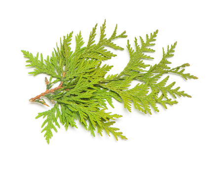 Branch of golden thuja isolated on white background. Coniferous trees. Winter. Christmas. Flat lay, top view
