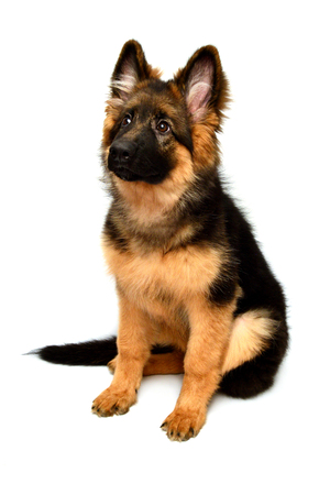 Fluffy German Shepherd dog isolated on white background. Puppy is beautiful, funny and attentive. Portrait, close-up