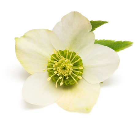 Flower hellebore isolated on white background. Flat lay, top view Stock Photo