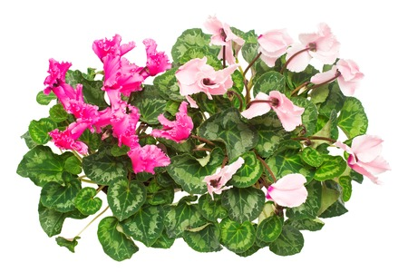 Pink cyclamen flowers two varieties isolated on white background. Summer. Spring. Flat lay, top view. Love. Valentine's Day Archivio Fotografico
