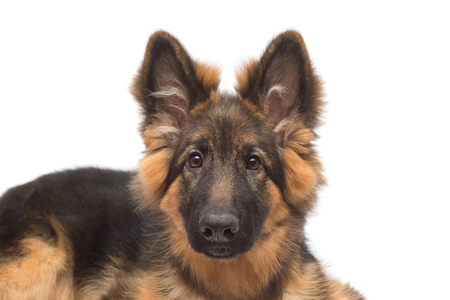 Fluffy German Shepherd dog isolated on white background. Puppy is beautiful, funny and attentive. Portrait, close-up, sitting