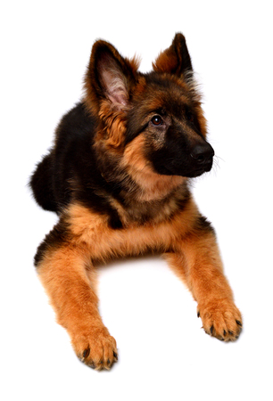 Fluffy German Shepherd dog isolated on white background. Puppy is beautiful, funny and attentive. Portrait, close-up. Sits and looks closely. Good, plush Archivio Fotografico