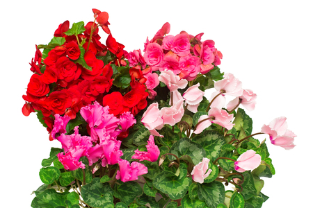 Assorted of indoor flowers pink and red begonias, cyclamen isolated on white background. Decoration for Christmas and New Year. A gift to your girlfriend. Concept, good idea romantic. Leaf Archivio Fotografico