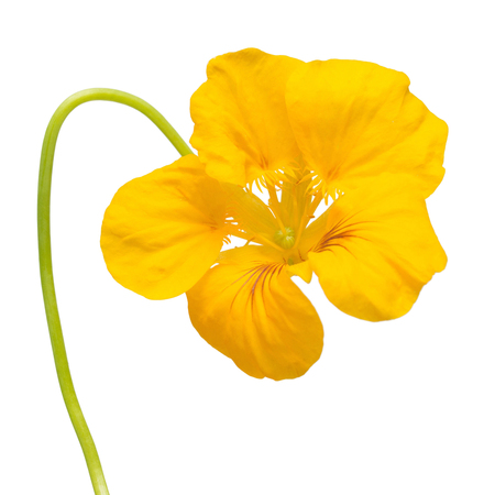 Yellow nasturtium flower macro curved shape isolated on white background. Flat lay, top view