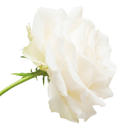 Beautiful flower white rose isolated on white background. Wedding card. Greeting. Summer. Spring. Flat lay, top view. Love. Valentine's Day. Variety Rose Hybrid Tea Schneewalzer