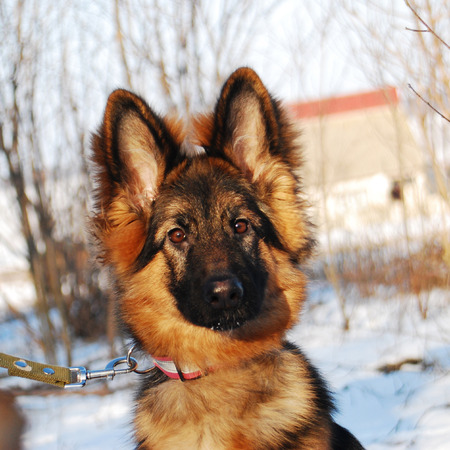 Puppy German Shepherd dog portrait in winter on a walk with leash against the snow Archivio Fotografico