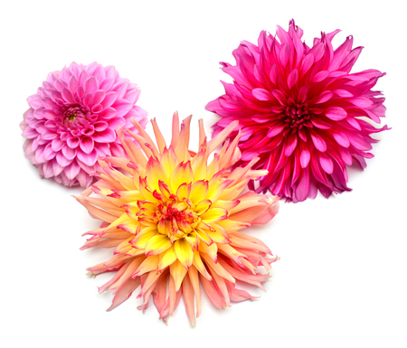 Bouquet of creative multi-colored flowers dahlia isolated on white background. Flat lay, top view Archivio Fotografico