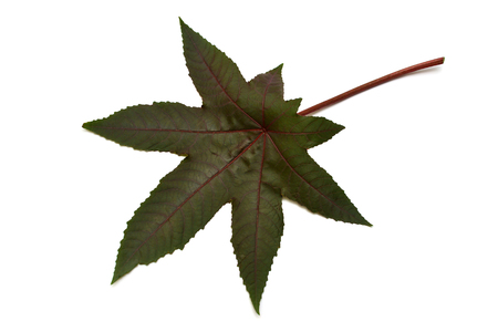 Castor oil plant, Leaf Ricinus communis isolated on white background. Flat lay, top view