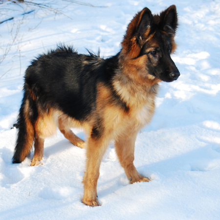 Puppy German Shepherd dog plays in winter on a walk with leash against the snow Archivio Fotografico