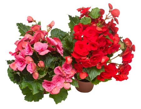 Begonia red and pink in a pot flowers isolated on white background. Flat lay, top view