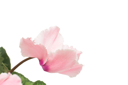 Pink cyclamen flower isolated on white background. Summer. Spring. Flat lay, top view. Love. Valentine's Day