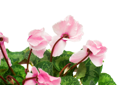 Pink cyclamen flower isolated on white background. Summer. Spring. Flat lay, top view. Love. Valentines Day