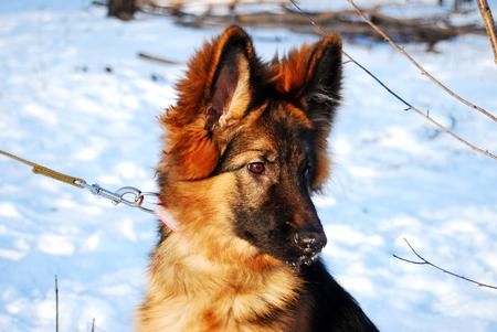 Puppy German Shepherd dog portrait in winter on a walk with leash against the snow Stok Fotoğraf