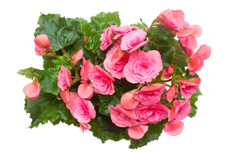 Begonia pink flowers isolated on white background. Flat lay, top view