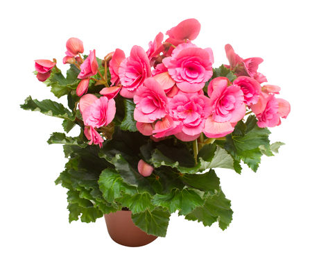Begonia pink flowers in a pot isolated on white background. Flat lay, top view