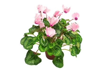 Pink cyclamen flower in a pot isolated on white background. Summer. Spring. Flat lay, top view. Love. Valentines Day Stock Photo