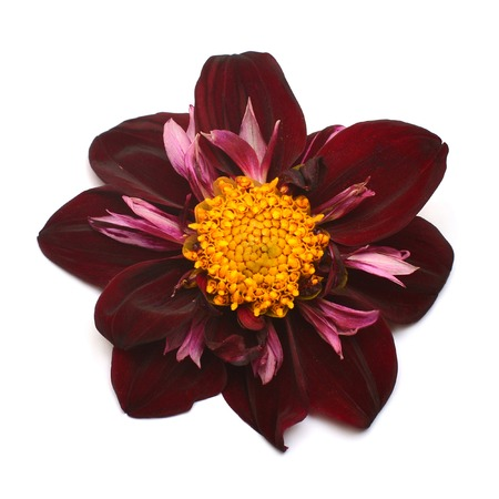 Dahlia flower Night Butterfly pink isolated on white background. Flat lay, top view Stock Photo