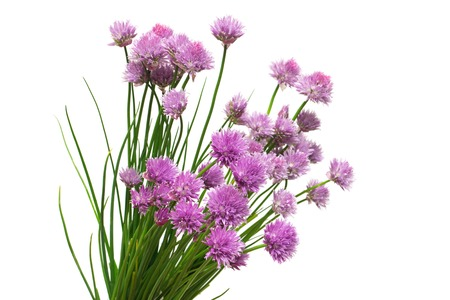 Blooming onion chives flowers isolated on white background. Flat lay, top view