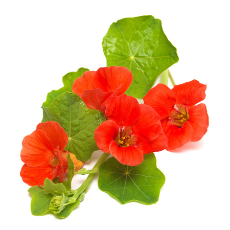 Bouquet of orange nasturtium flowers with leaf isolated on white background. Flat lay, top view