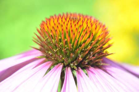 echinacea purpurea: echinacea purpurea