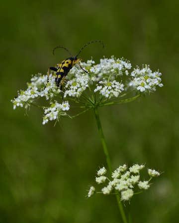 longhorn beetle: flower with beetle