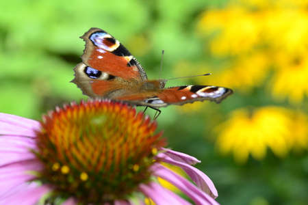 io: butterfly preparing to fly away Stock Photo