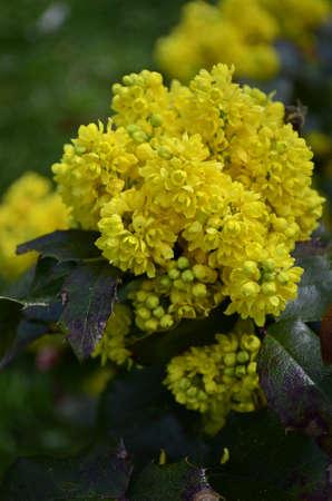 ornamental bush: Mahonia aquifolium