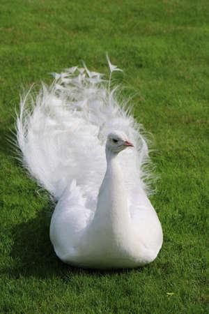 short cut: White peacock lies on short cut green grass Stock Photo