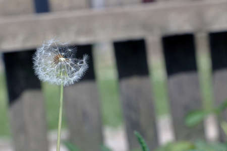 blowball: Seeds of dandelion flower in front of the blurry wooden fance