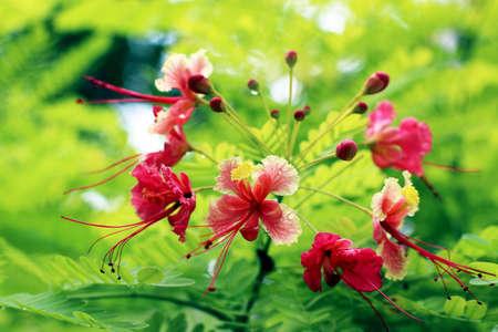 pulcherrima: Infiorescenza di fiore rosa pavone, nome botanico Caesalpinia pulcherrima Archivio Fotografico