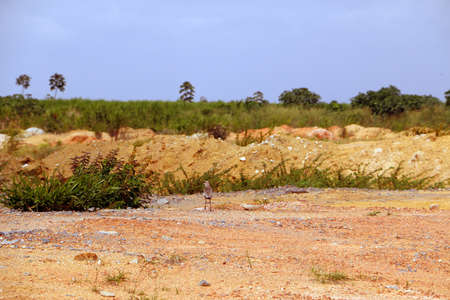 ruination: Gravel and soil on construction site to be on  field of sugarcane observed by lapwing bird Stock Photo