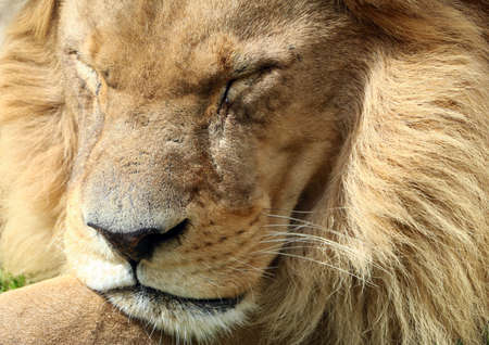 Portrait of a lion that sleeps or lays in the sun, its mace, snout and fur