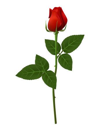 단일 빨간색 꽃 그림 장미, 아름 다운 빨간 흰색 배경에 격리 된 긴 줄기 장미