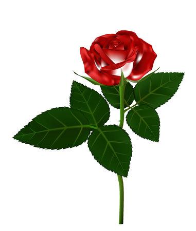 long stem: Single red rose flower illustration, beautiful red rose on long stem isolated on white background Illustration