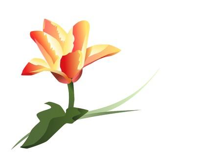 tulip on white background  Stock Vector - 7797389