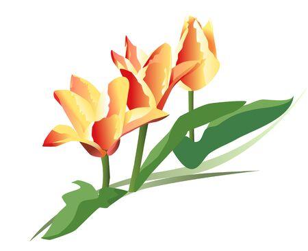 yellowrn: three beautiful mini tulips  Illustration