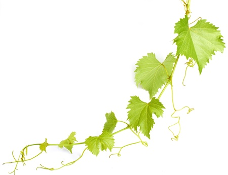 green grapevine leaves as border isolated on white