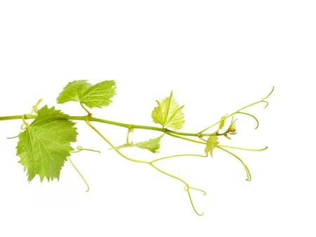 green wine leaves 스톡 콘텐츠