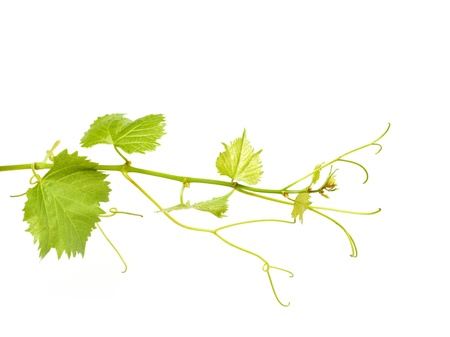 green wine leaves Stock Photo