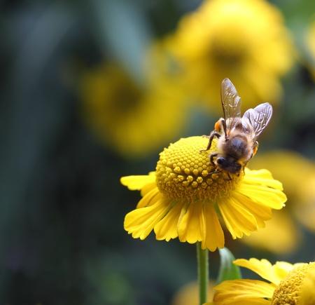 bee pollen: bee with pollen on yellow flower